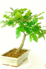 turkey oak bonsai tree quercus cerris