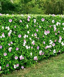mixed hibiscus hedge product photo gardening horticulture
