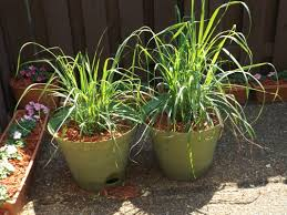 Miracle Grow Patio by Keep Mosquitoes Away This Summer With This Easy To Grow Plant