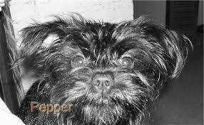 affenpinscher adults for sale affen dog breed pictures 3