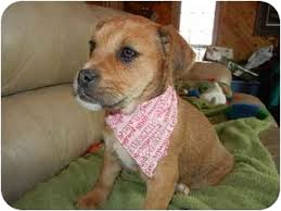 boxer dog yorkshire princess adopted puppy bedminster nj boxer yorkie