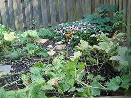 Squash Plant Diseases Pictures - controlling downy mildew how to treat downy mildew