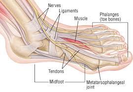 Foot Anatomy Nerves Foot Sprain Harvard Health