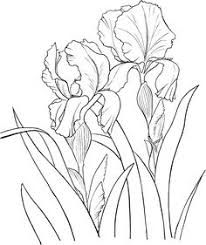 Flower Drawings Black And White - how to draw an iris flower step by step drawing tutorials