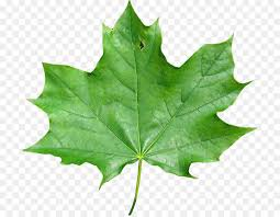 japanese maple maple leaf maple meaning maple leaf png