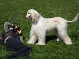 afghan hound dog images photo blog