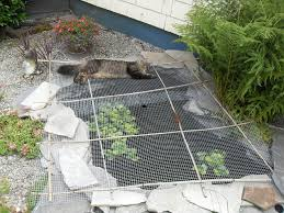 How To Get Rid Of Raccoons In Backyard Keeping Raccoons Out Of The Pond Hometalk