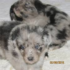 australian shepherd 14 weeks new litter ready 5 27 16 three creek australian shepherds