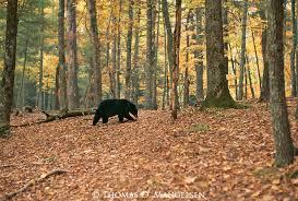 Tennessee forest images Black bear mangelsen images of nature stock agency jpg