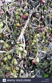 Indian Food Olives From Spain Olive Tree Branch Laden With Green Olives Otivar Spain Stock