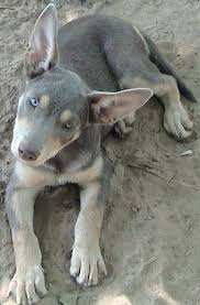 Bench Kelpie Puppies Sale 2069 Best Precious Pictures Images On Pinterest Animals Baby
