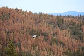 brown tree 66 million dead trees ready for wildfire