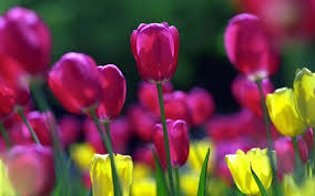 Images Of Tulip Flowers - spring flowers background spring flowers wallpapers images