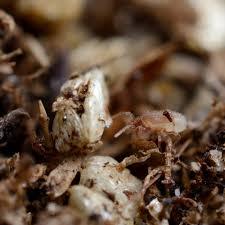 acariens de cuisine acarien prédateurs hypoaspis