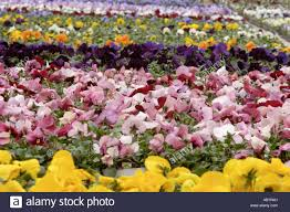 pansies pansy flower flowers floural greenhouse garden flower