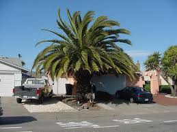 has anyone had luck with canary island date palms growing