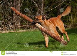 belgian sheepdog brown malinois belgian shepherd stock photo image 53308974