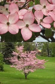 buy pink dogwood cornus kousa satomi trees for sale