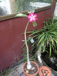 desert rose plant took five years to bloom one gorgeous flower
