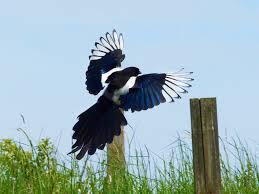 Magpie Birds In Backyards Feng Shui Bird Symbols In Your Home