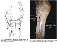 Posterior Inferior Tibiofibular Ligament Ligament Anatomy Reviews