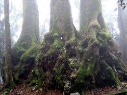 file antarctic beech tree base nothofagus moorer jpg wikimedia