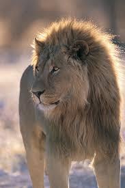 imagenes de leones salvajes gratis banco de imagenes gratis com animales salvajes 16 fotografías en