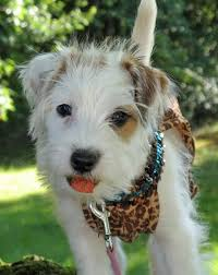 haircut ideas for long hair jack russell dogs 12 best pet selection ideas images on pinterest