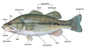 Anatomy Of A Cats Eye Scdnr Fishing Information