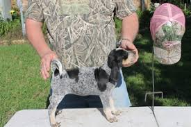bluetick coonhound pics view ad bluetick coonhound puppy for sale texas college station