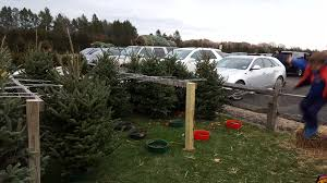 christmas trees pick a christmas tree mattituck ny