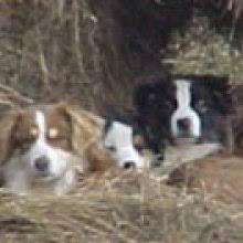 australian shepherd adoption miniature australian shepherd puppies for sale