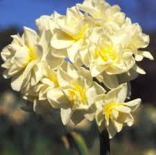 narcissus erlicheer daffodil bulbs for sale