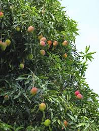 glenn mango tree for sale fast growing trees