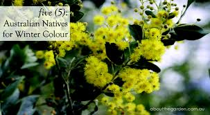 5 five australian natives plants flowers for winter colour by