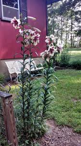 tree info tips for growing tree lilies in the garden