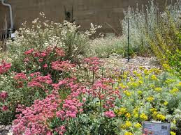 california native plant society blog mother nature u0027s backyard a water wise garden plant of the month