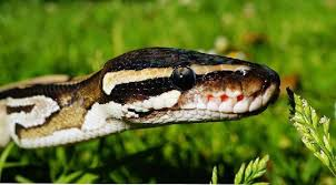 film ular phyton waspadai lima tempat favorit persembunyian ular di rumah properti