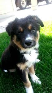 australian shepherd german shepherd german shepherd lab cross breed i think i need another dog