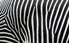 patterns in nature how the zebra got its stripes csiroscope