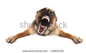 belgian shepherd vs pitbull fight angry dog stock images royalty free images u0026 vectors shutterstock