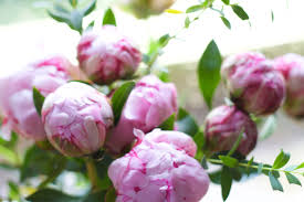 peonies flower delivery flowers on a monday rhyme ribbons