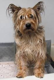 cairn terrier haircuts pet grooming the good the bad the furry grooming an
