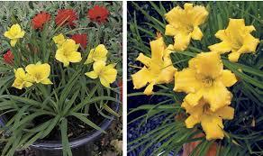 Stella Daylily Plants Management Australia Hemerocallis U0027stella Bella U0027