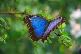 blue morpho butterfly free stock photo public domain pictures