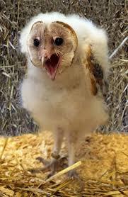 Where Does The Barn Owl Live Best 25 Baby Barn Owl Ideas On Pinterest Beautiful Owl Owls