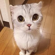 meet hana japanese kitty incredibly big eyes