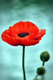 poppies flowers 26 best poppin poppys images on poppies poppy
