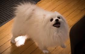Pomeranian Meme - gabe the dog tribute to the king of the internet dogalize