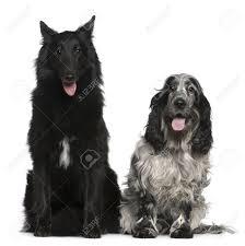 belgian sheepdog groenendael puppies belgian shepherd dog groenendael 2 years old and english cocker